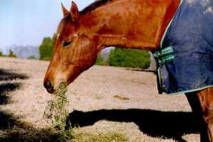 HORSE_Eating_hay