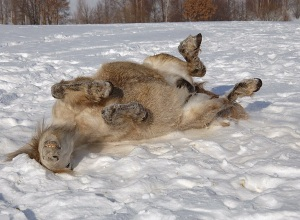rolling in snow