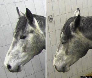 horse grimace scale