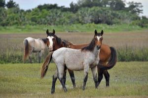 feral-horses-956679_960_720