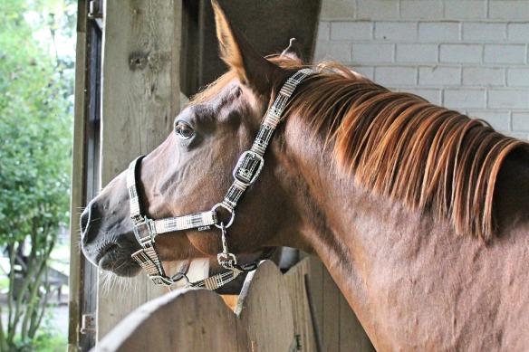 horse-head-2775082_1920 (1)